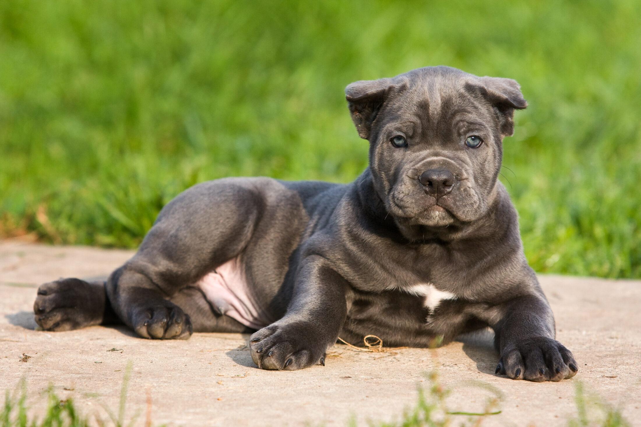 Raça de Cachorro Grande: Cane Corso