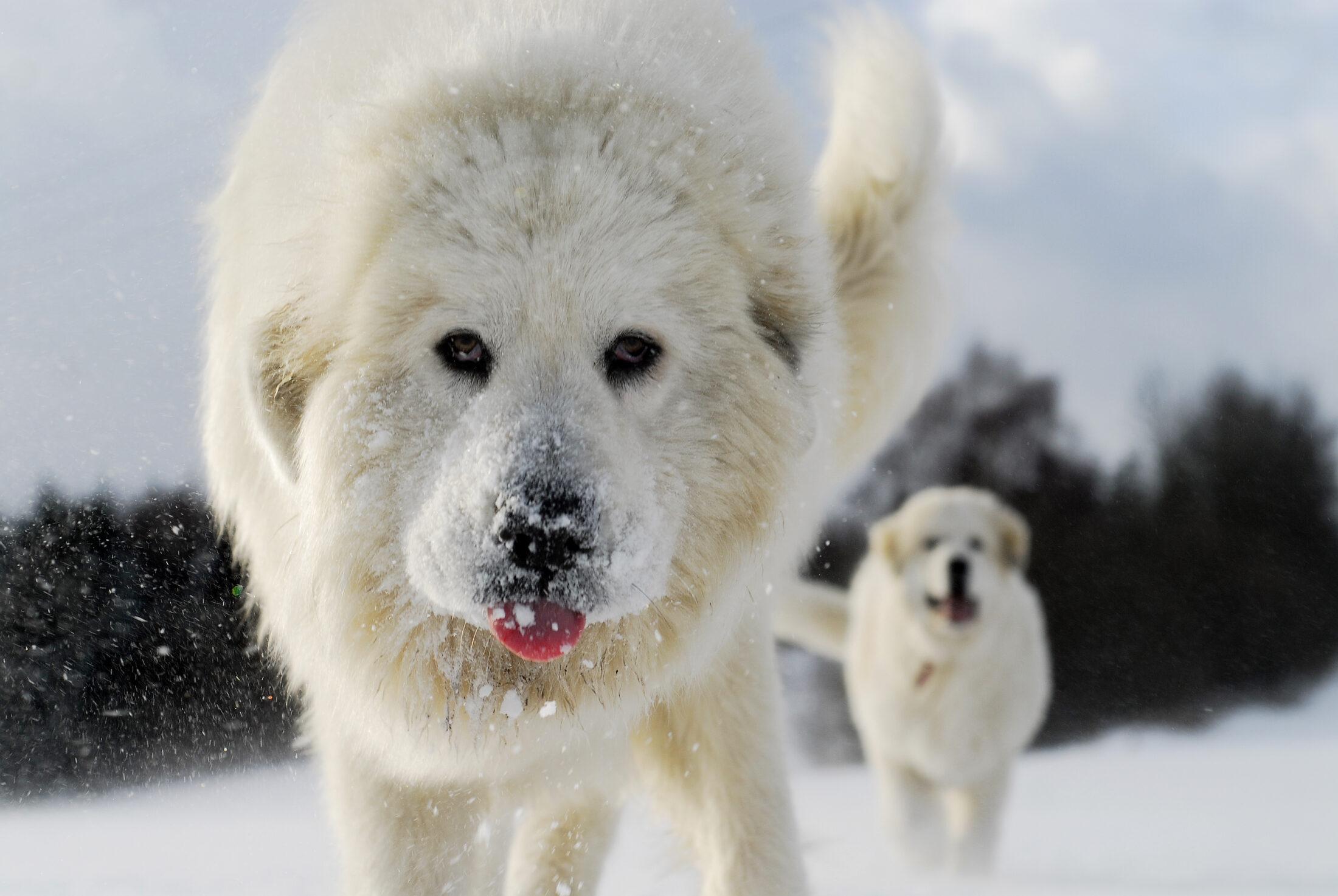raca de cachorro grande - cao de montanha dos pirineus