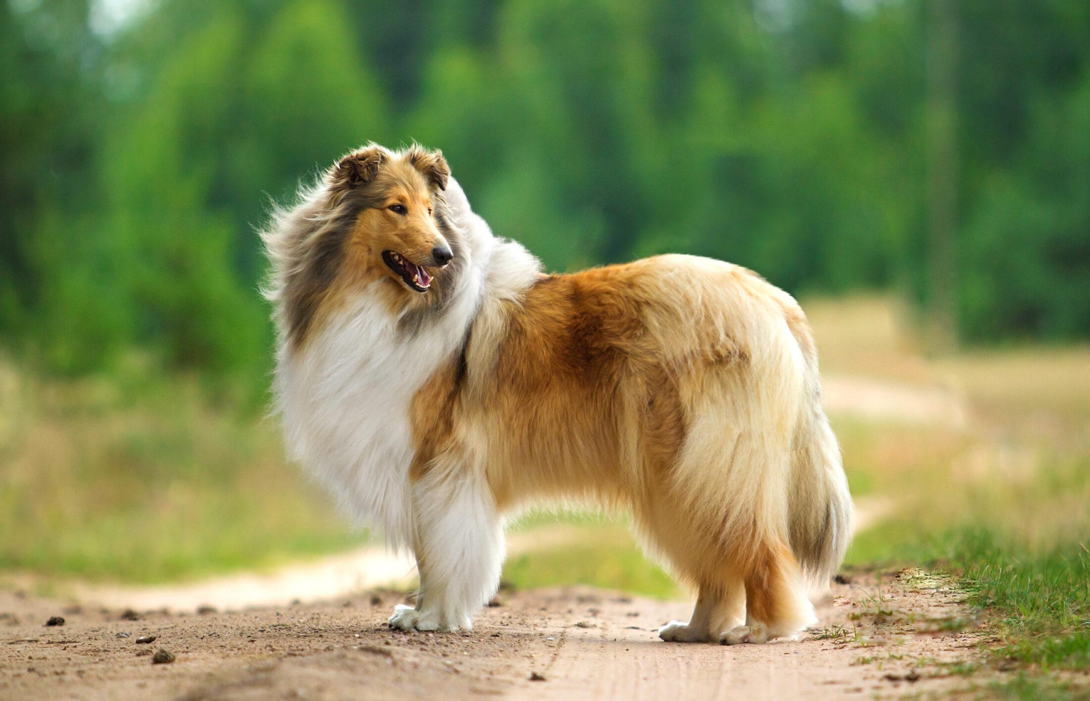 Raça de Cachorro Grande: Collie