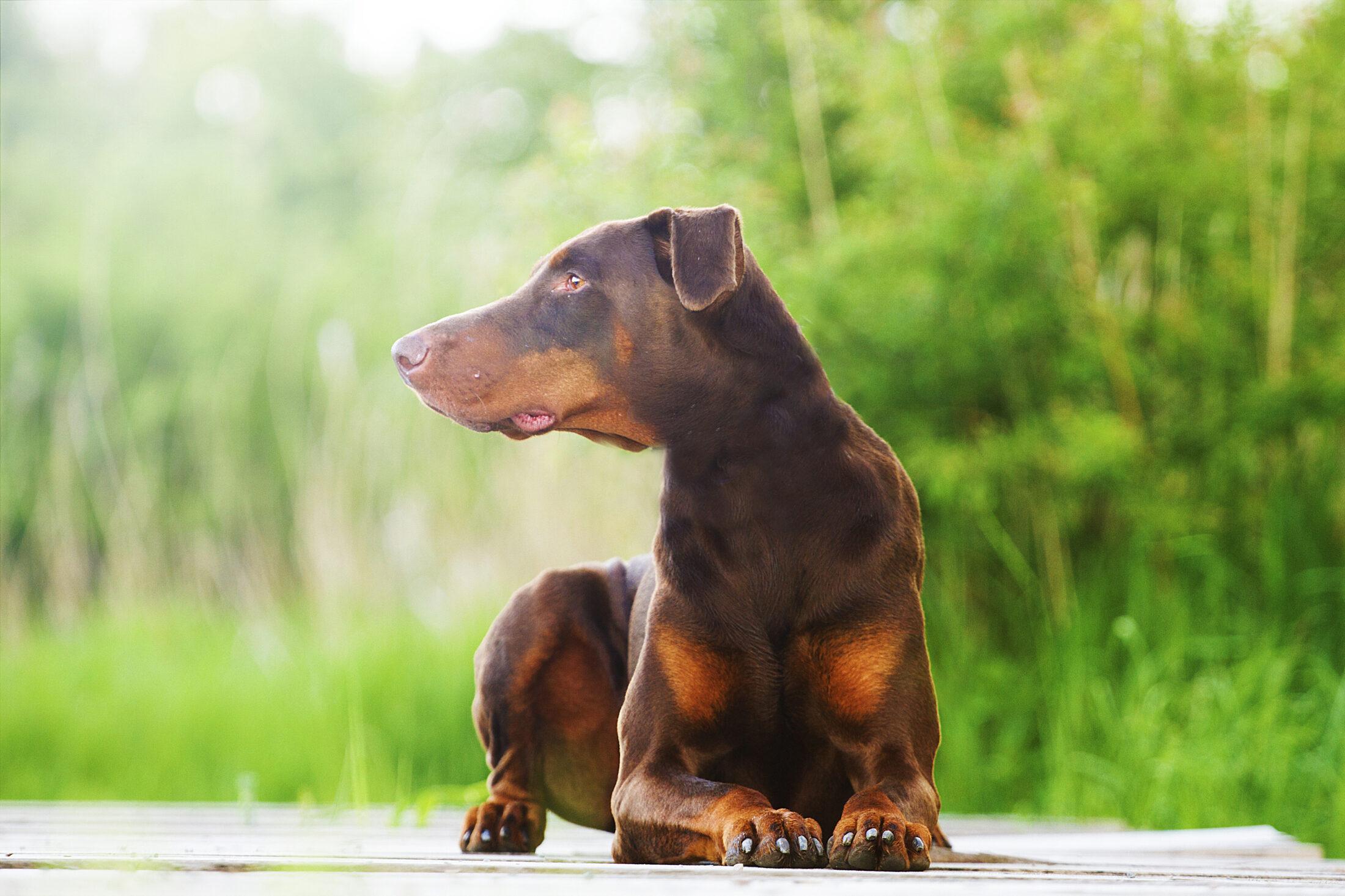 Raça de Cachorro Grande: Doberman Pinscher