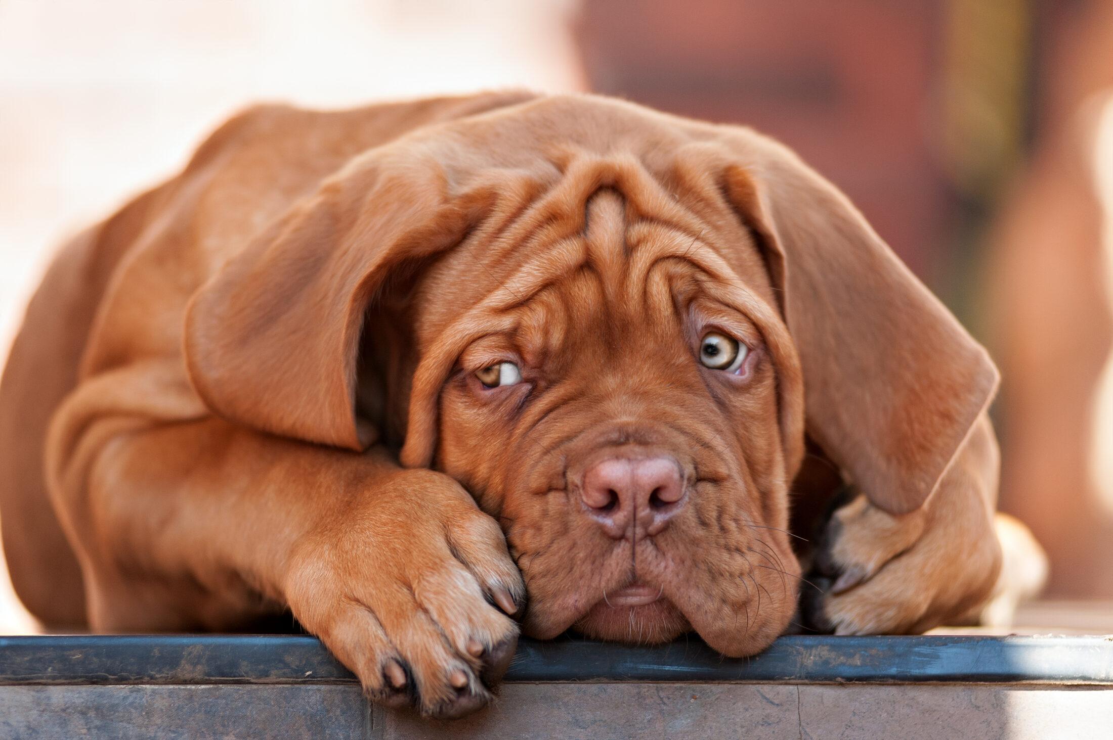 Raça de Cachorro Grande: Dogue de Bordeaux