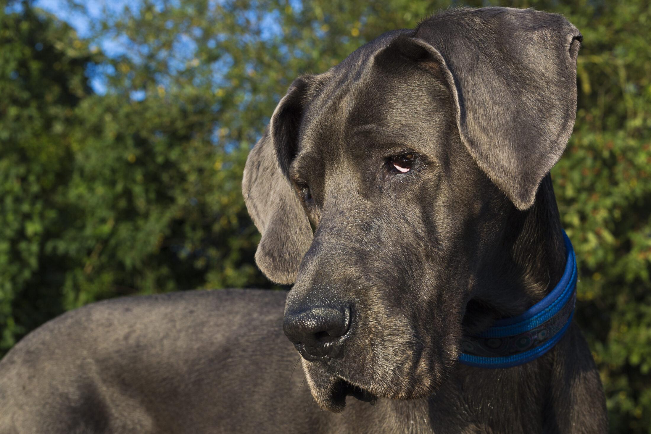 Raça de Cachorro Grande: Great Dane ou Dogue Alemão