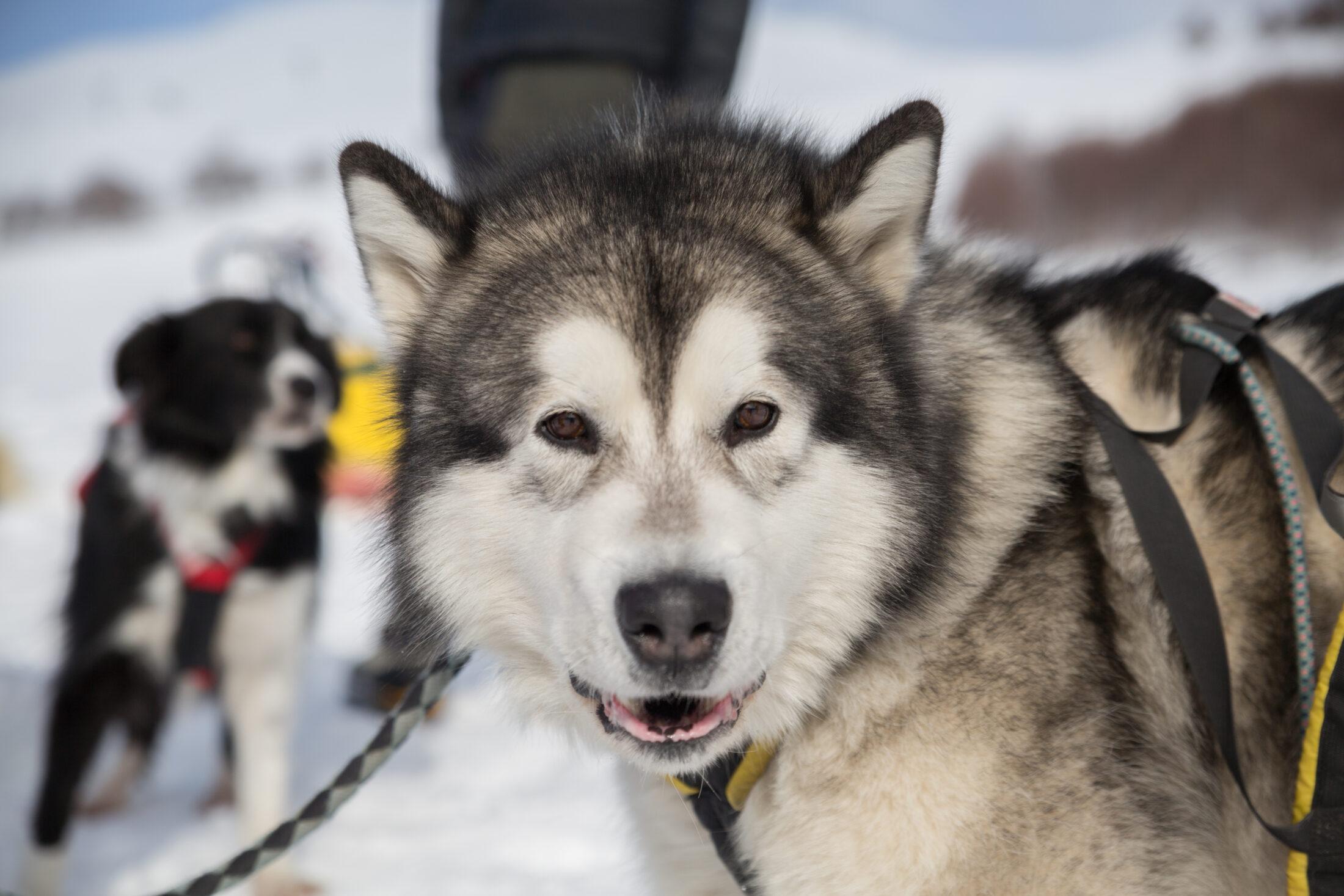 Raça de Cachorro Grande: Malamute do Alasca