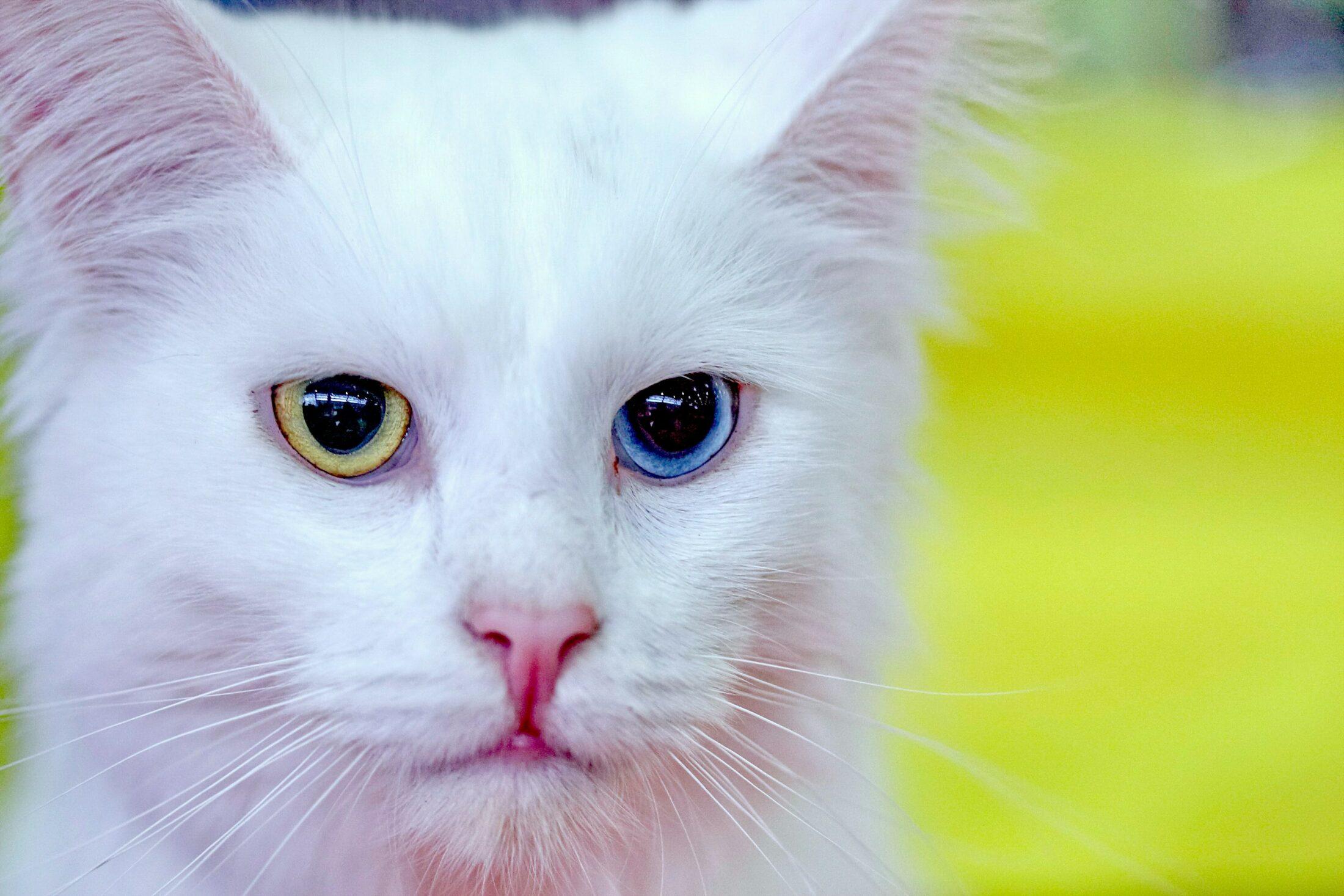 Gatos de pelos longos Turkish Angora