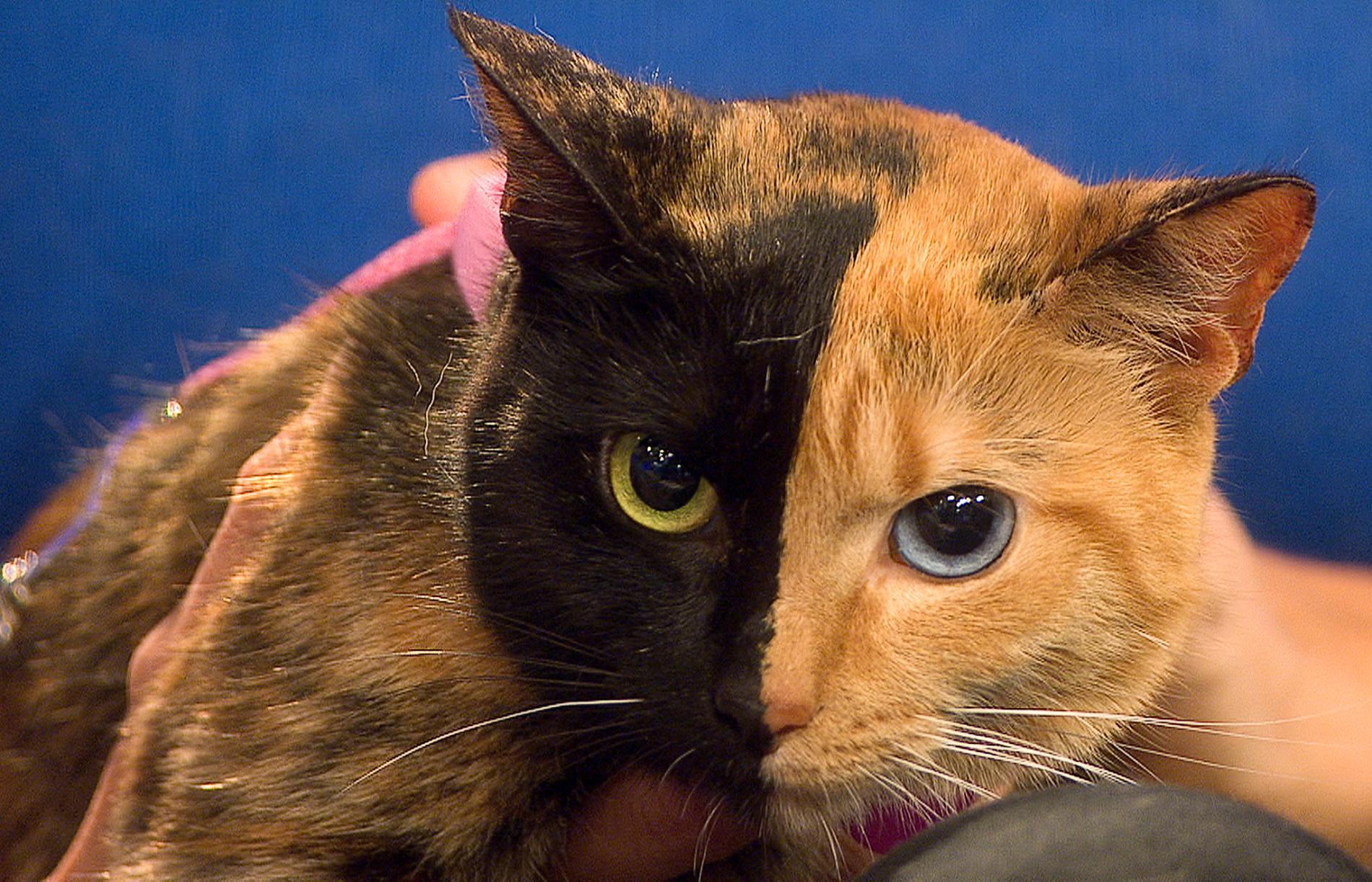 Vênus é umd os aniamsi fantásticos famosos na internet pela sua face de duas cores.