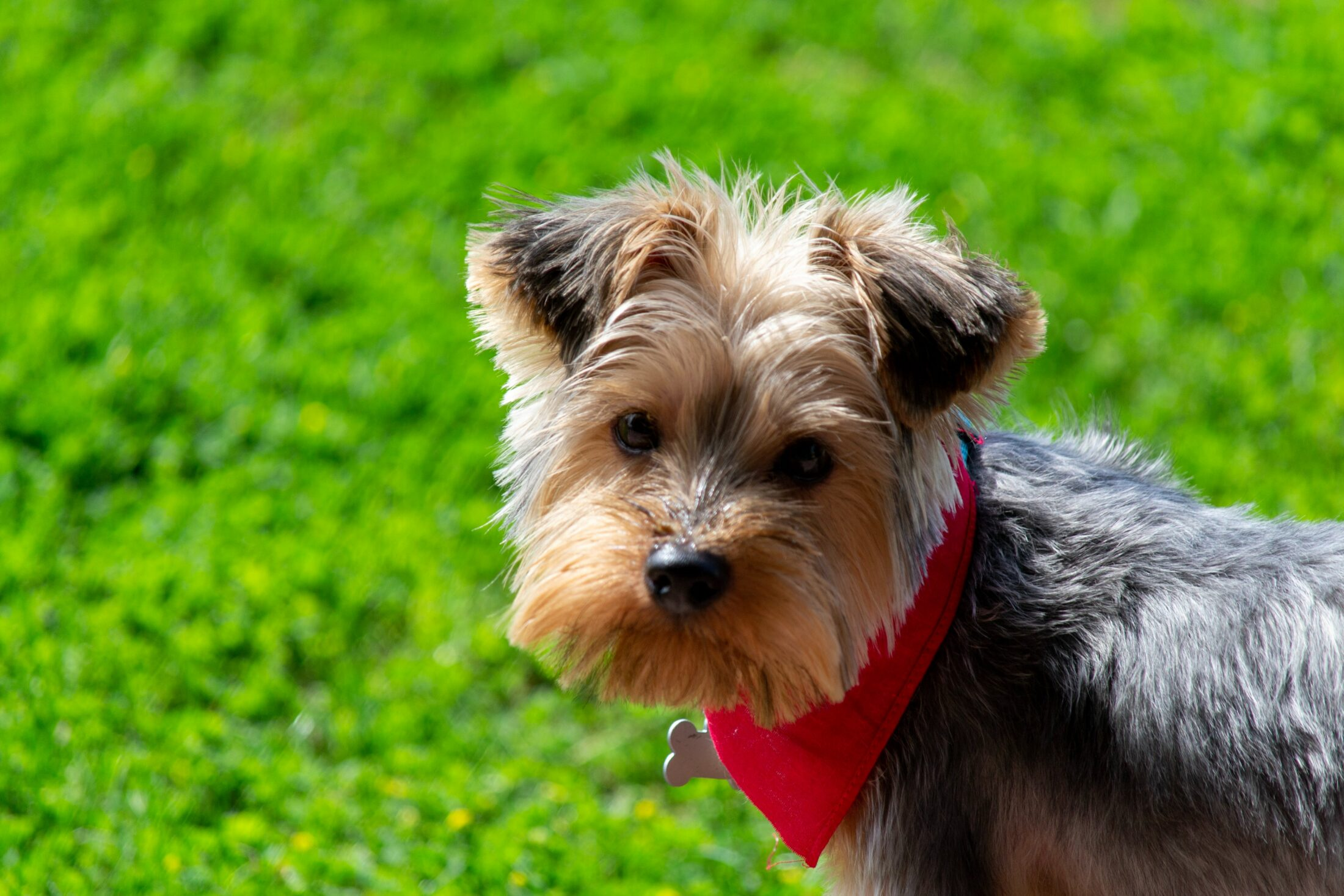 Yorkshire terriers no jardim