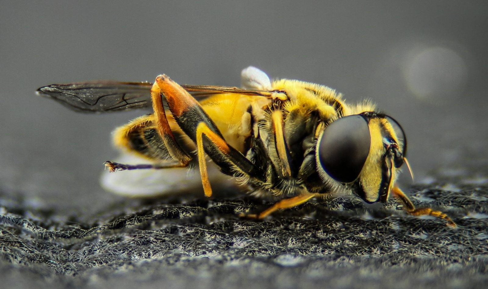 A abelha rainha é fecundada pelo zangão.