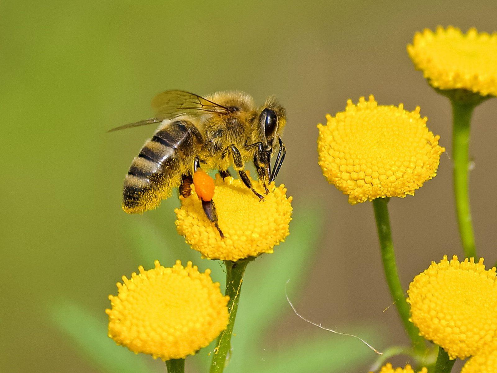 A abelha possui mil e uma curiosidades.