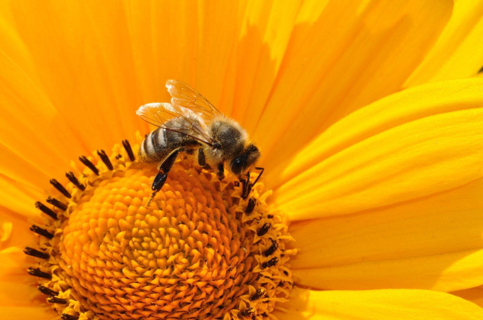A abelha é um importante inseto polinizador