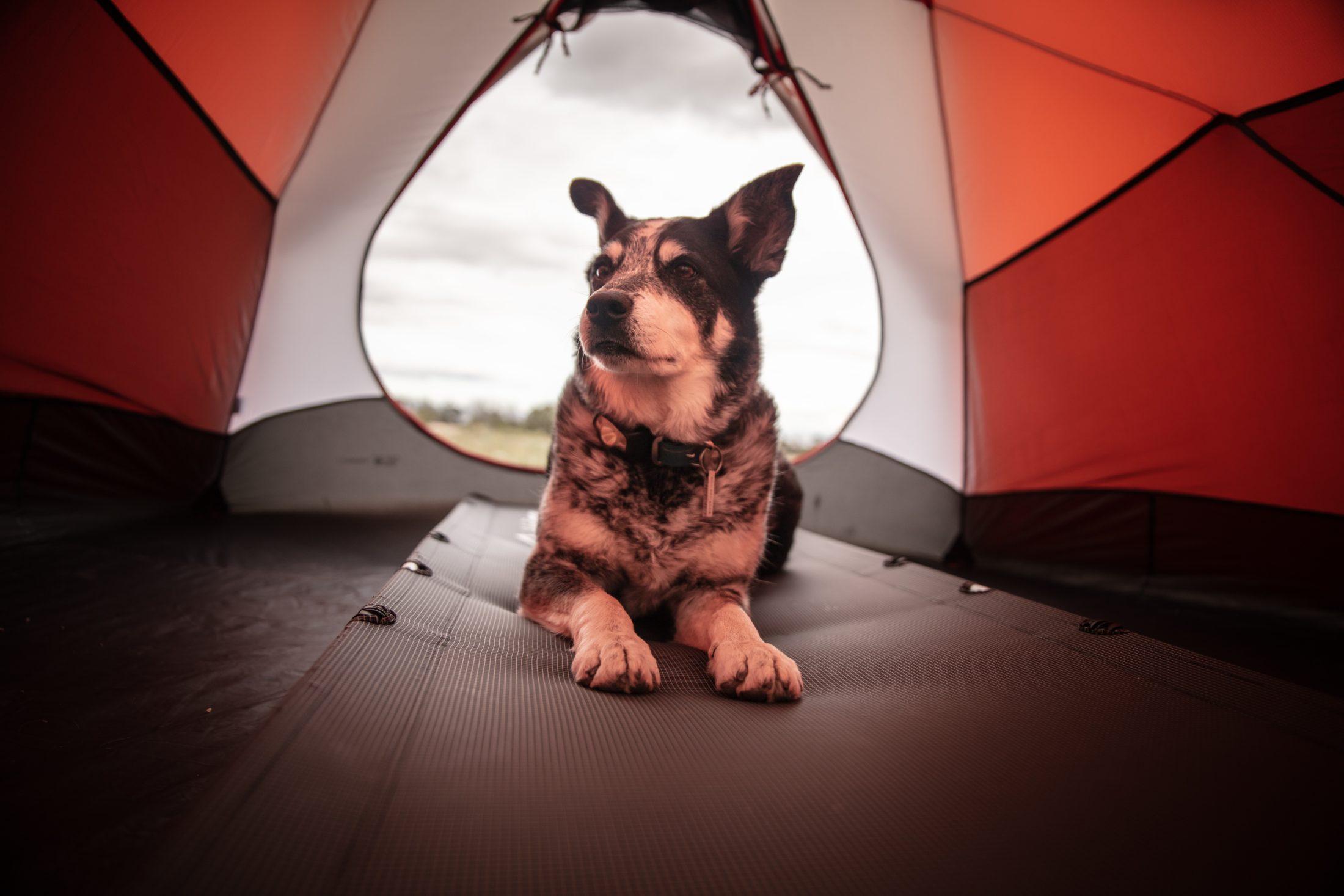 cachorro dentro de barraca de camping