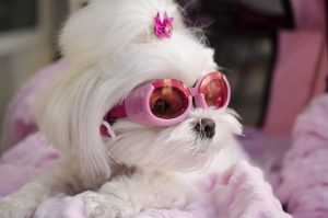 Acessórios para cachorro: Linda Maltês de fivelas e óculos escuros para proteger do sol.