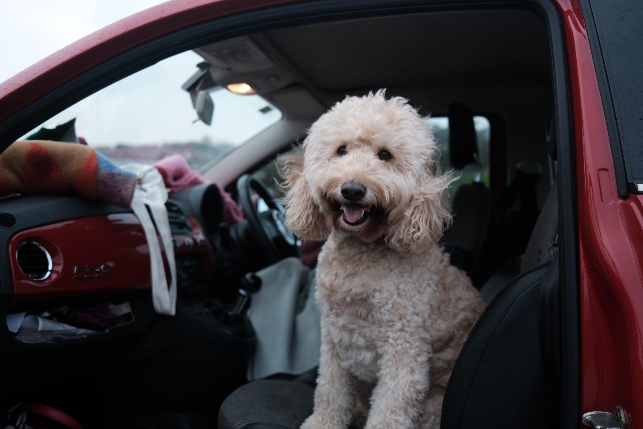 Cinto de segurança para cachorro é um dos acessórios para carro mais importantes para os passeios e viagens.