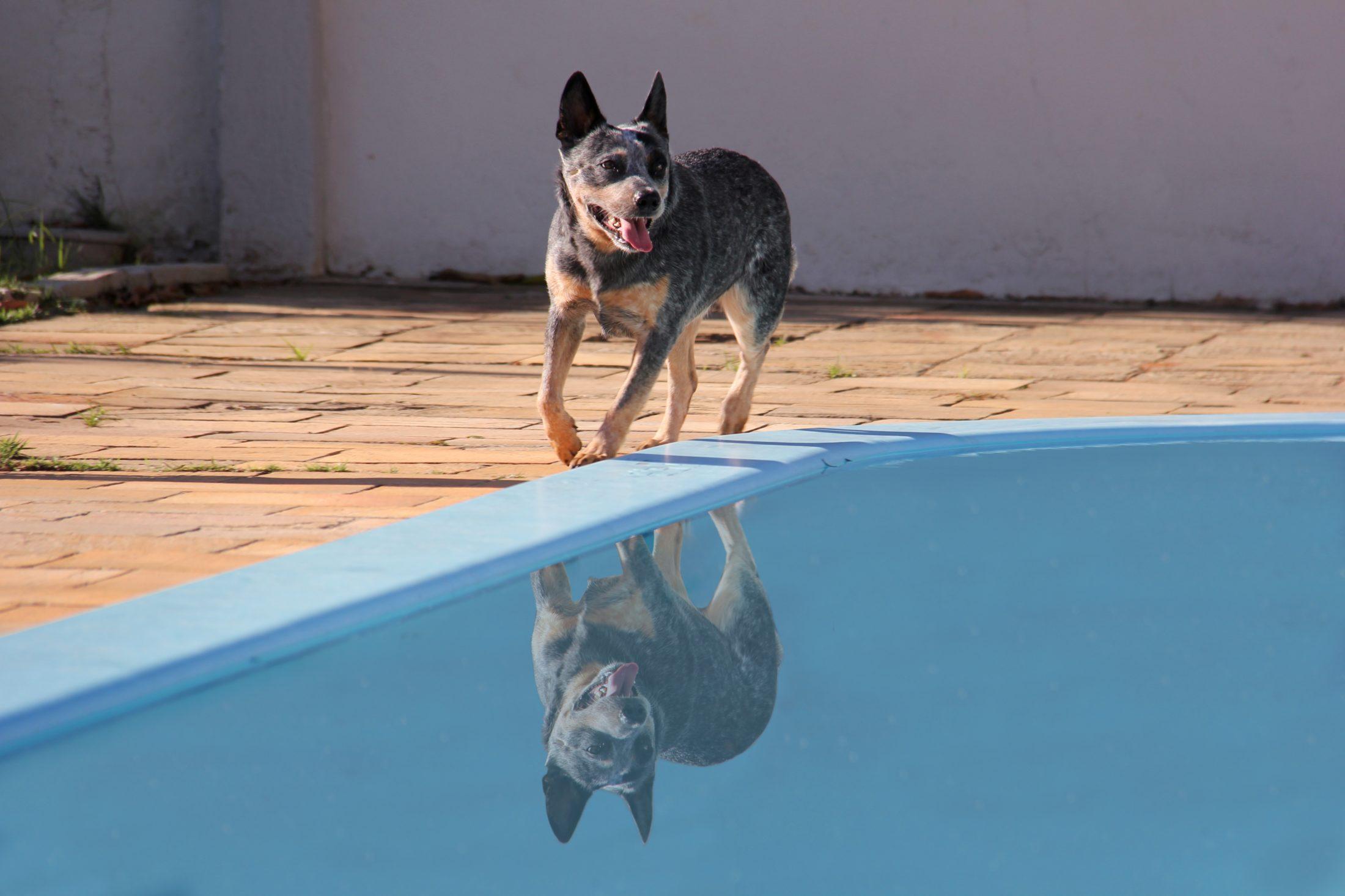 adestramento de cachorro - australian cattle