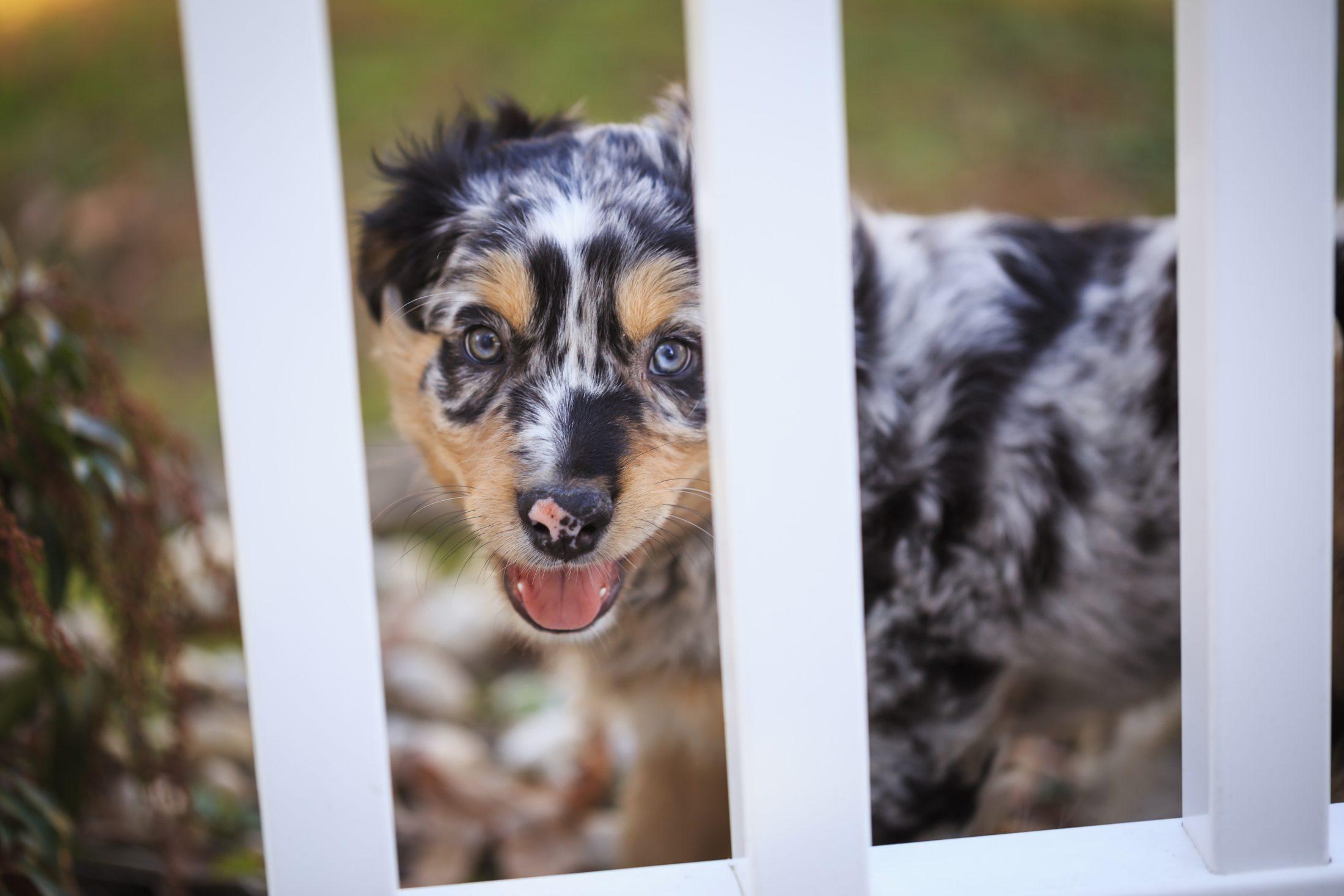 adestramento de cachorro - australian shepherd