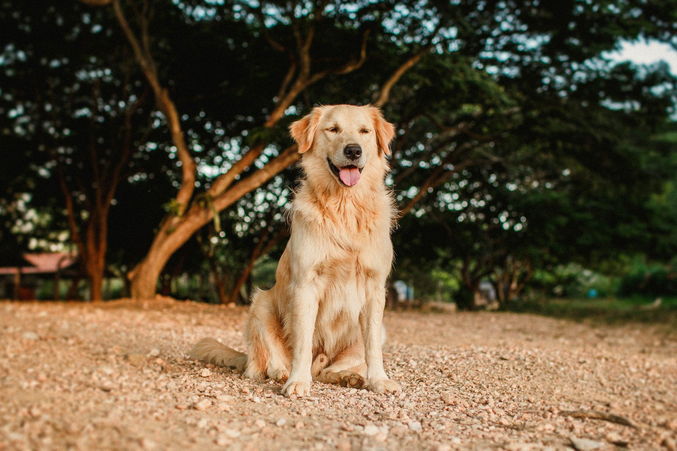 adestramento de cachorro - golden retriever