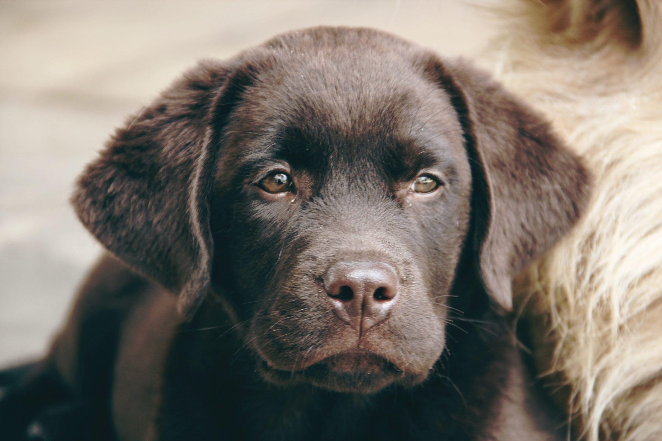adestramento de cachorro - labrador