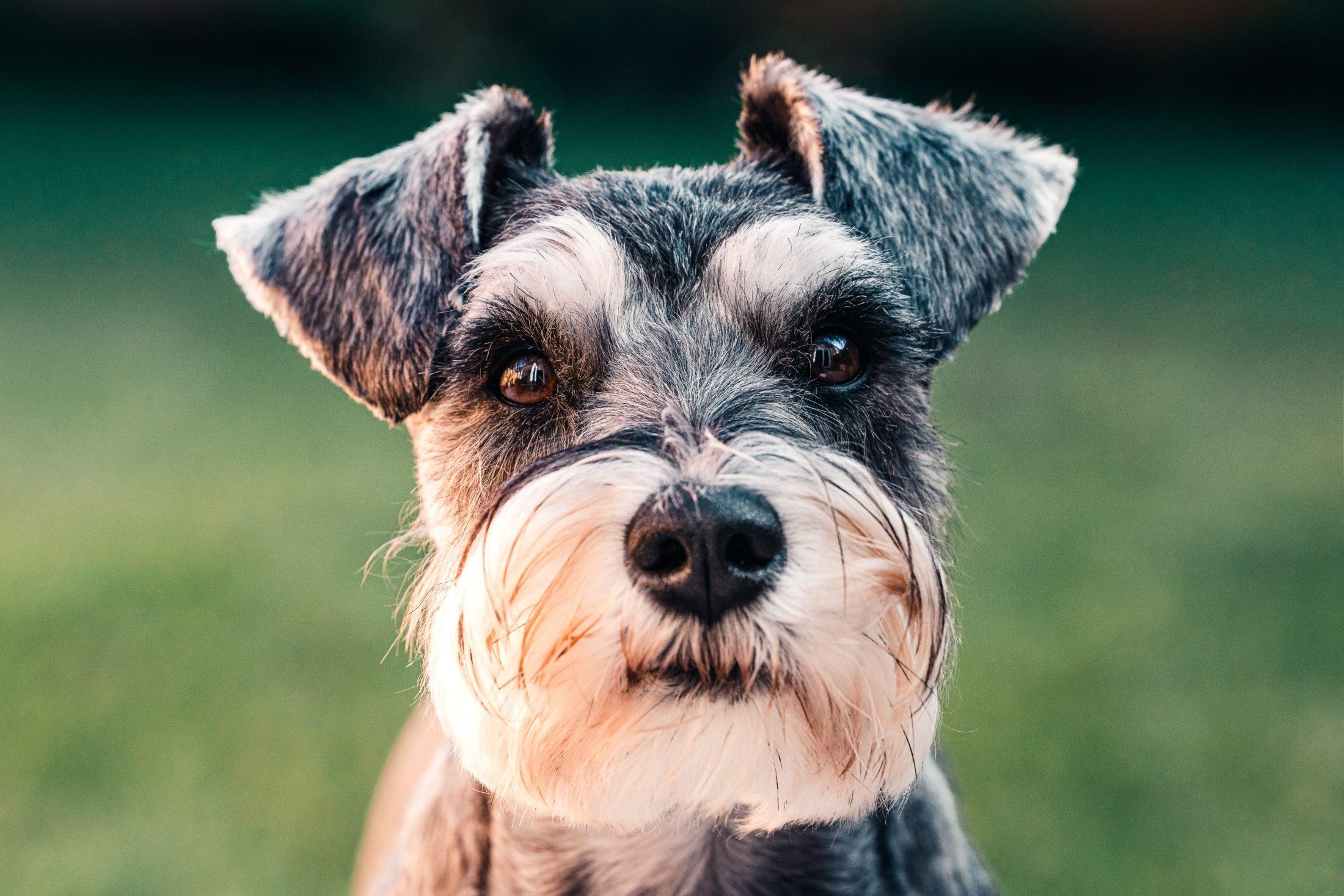 adestramento de cachorro - mini schnauzer