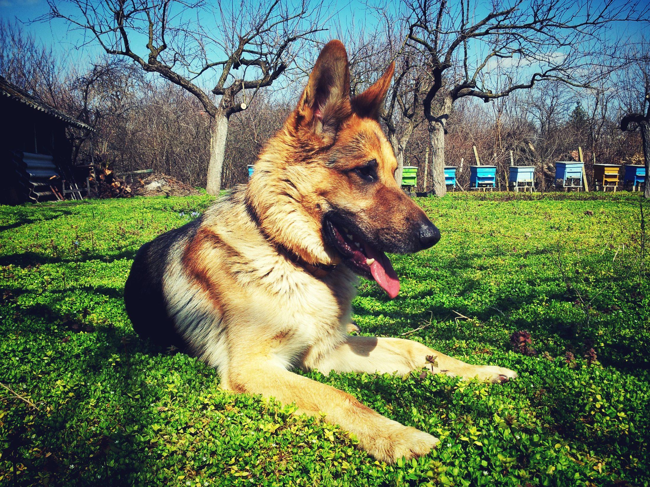 adestramento de cachorro - pastor alemao