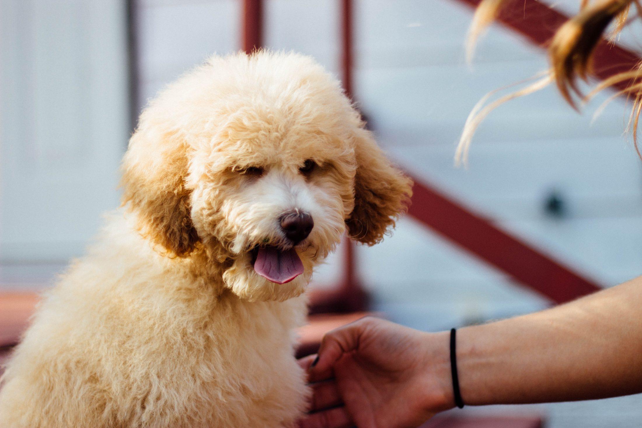 adestramento de cachorro - poodle