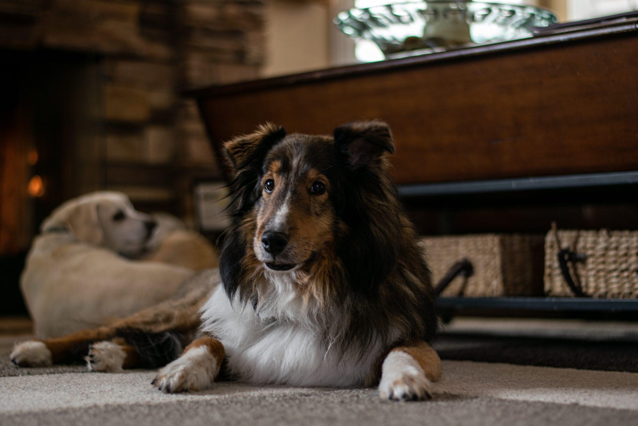 adestramento de cachorro - shetland sheepdog