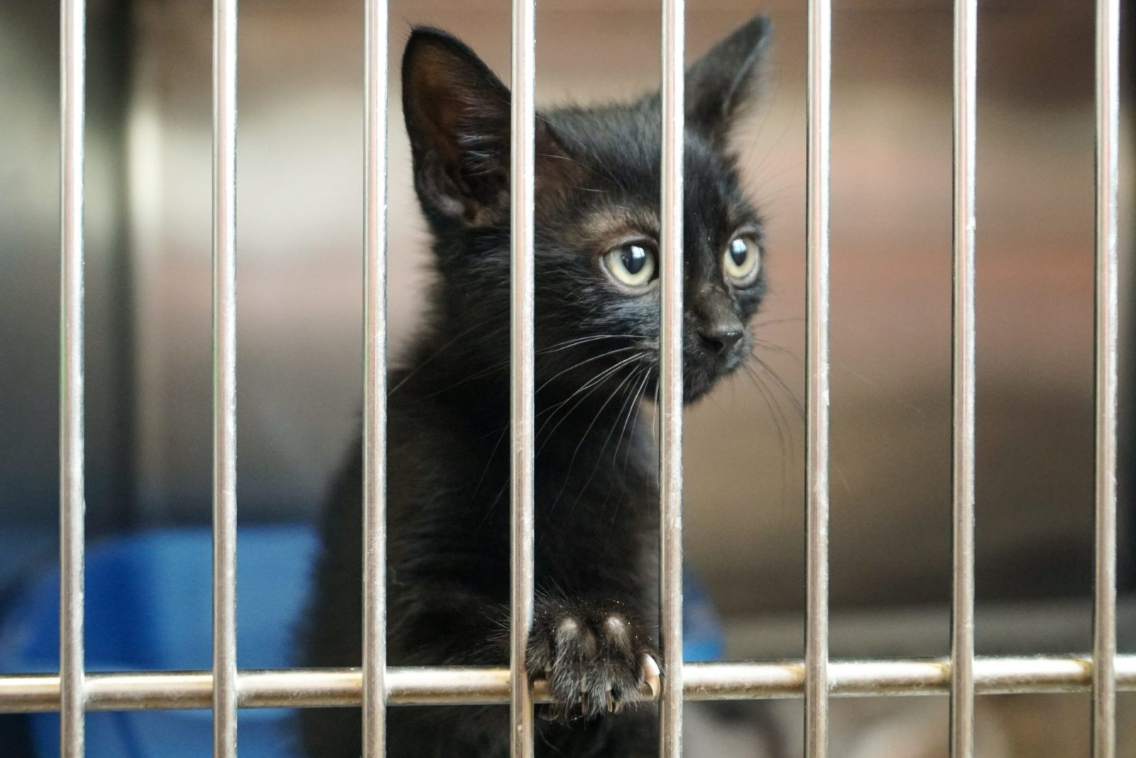 adoção de gatos pretos