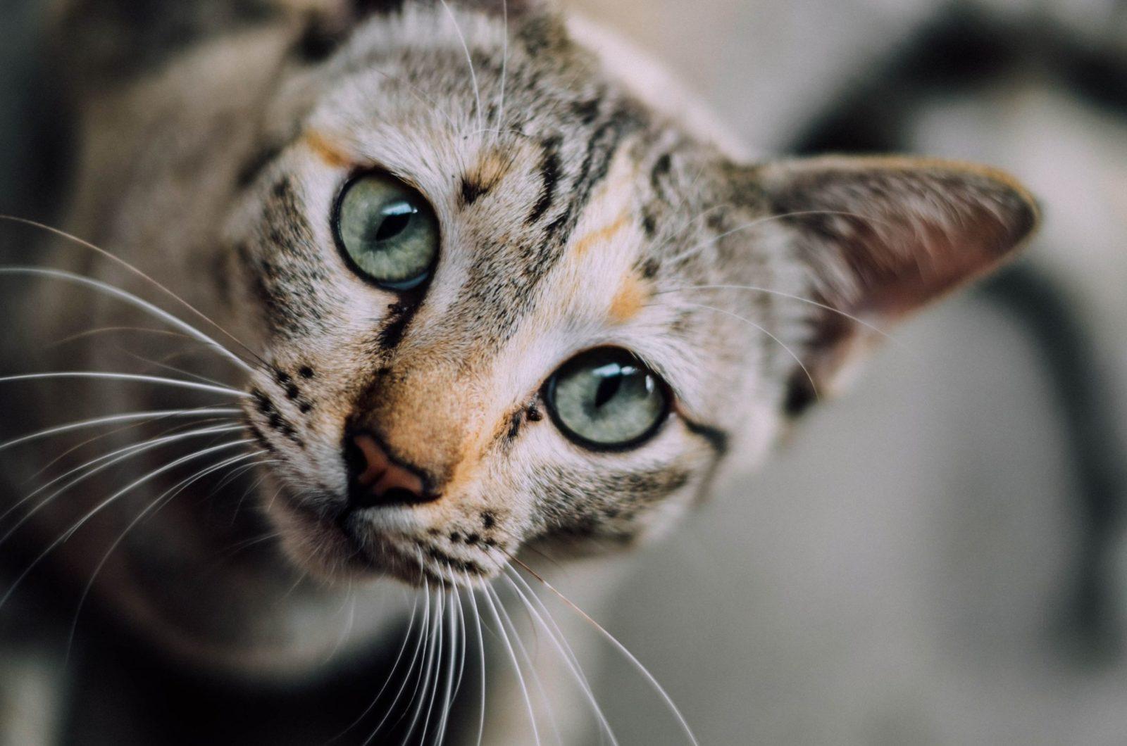 gatinho para adoção de gatos
