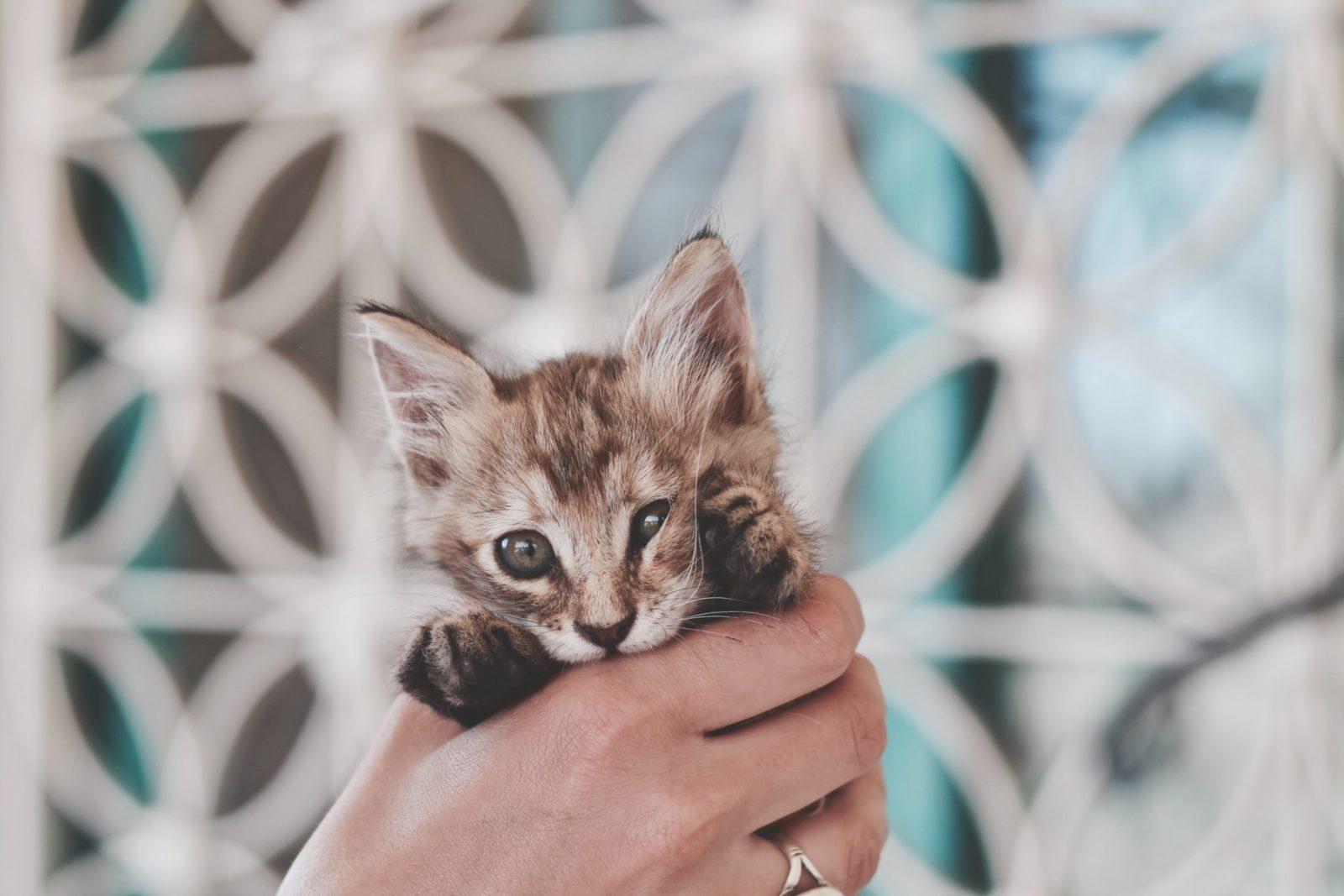 filhote para adoção de gatos