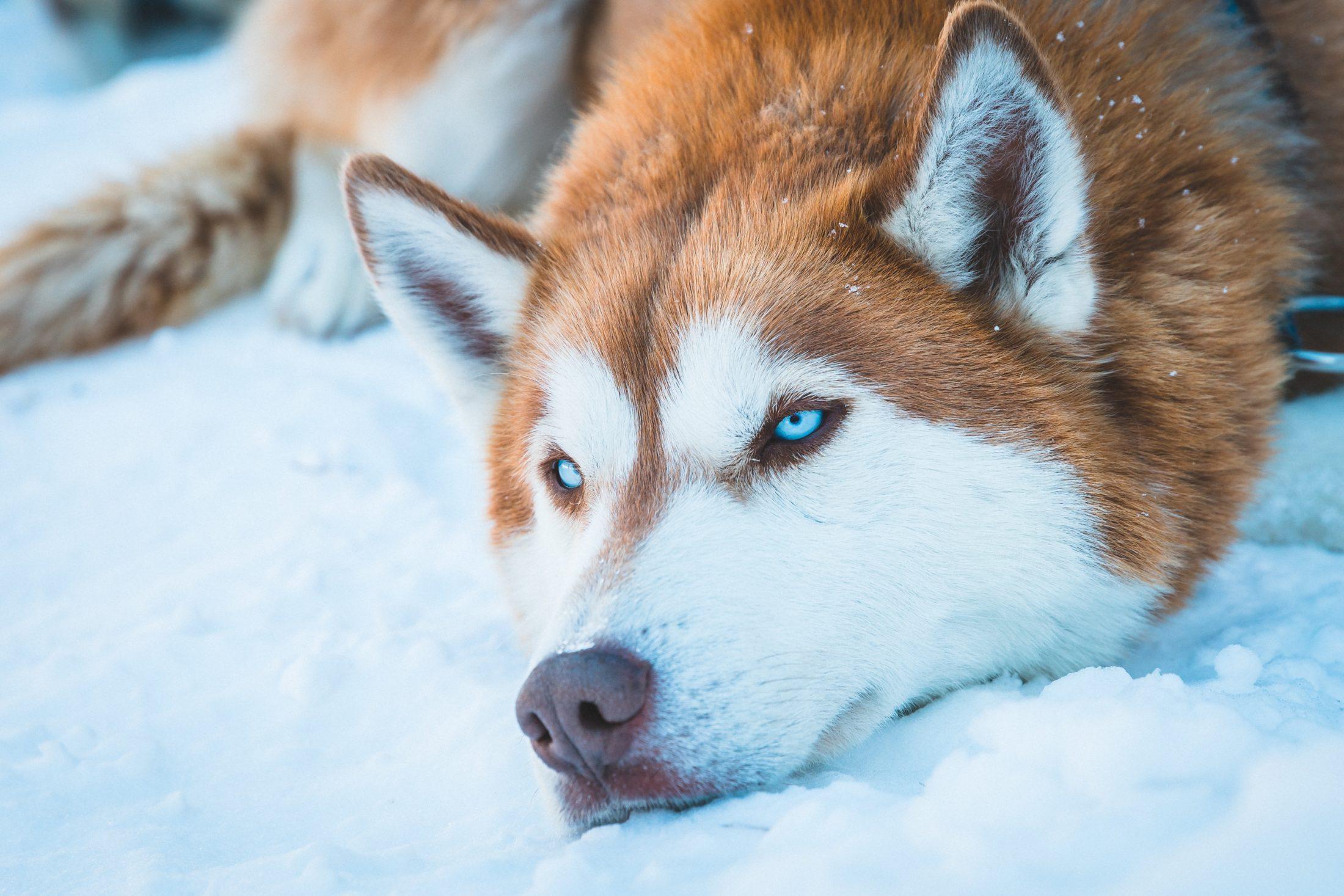 huskie na adolescência canina