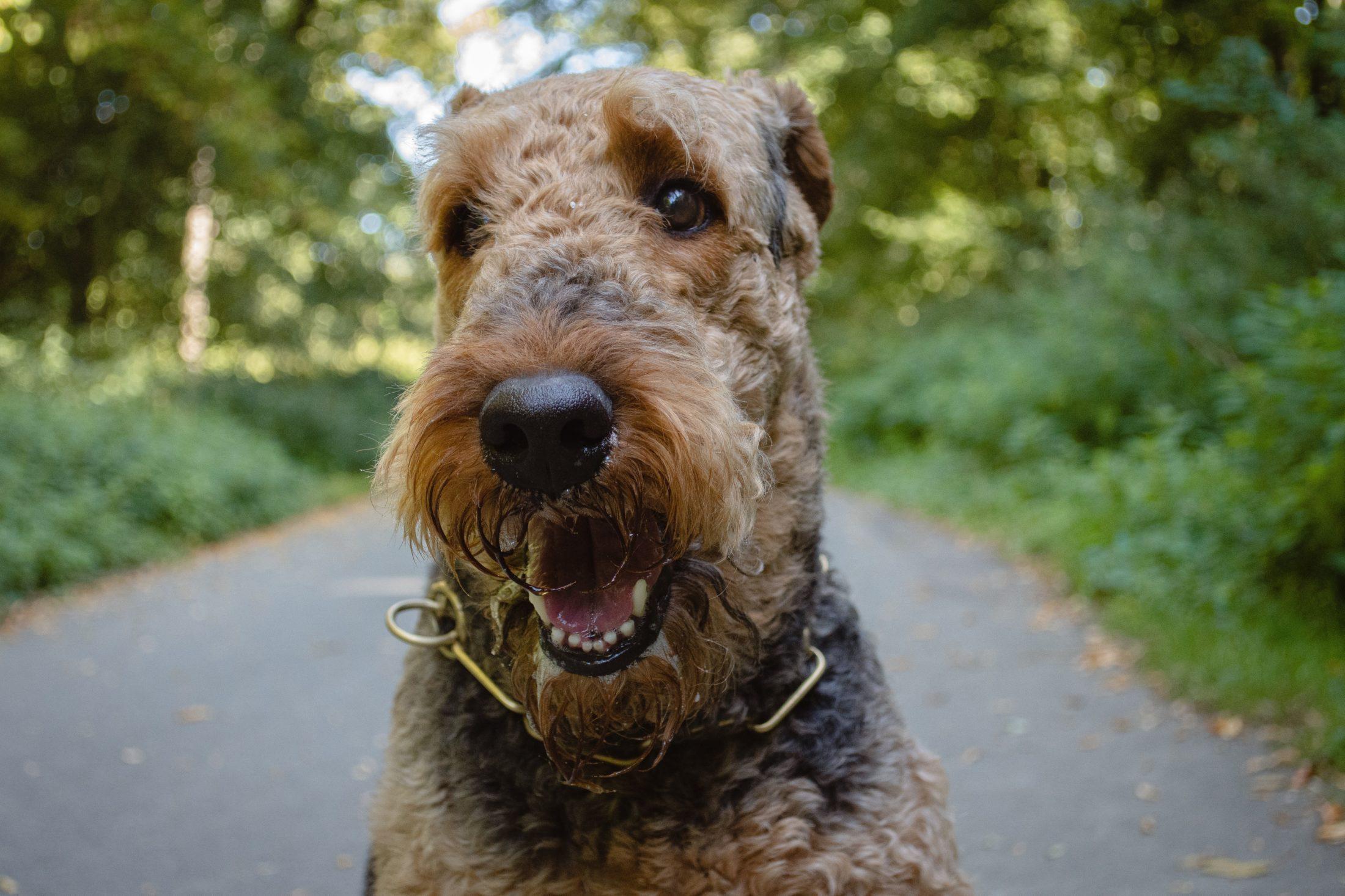 raça de cachorro mais inteligente airedale terrier