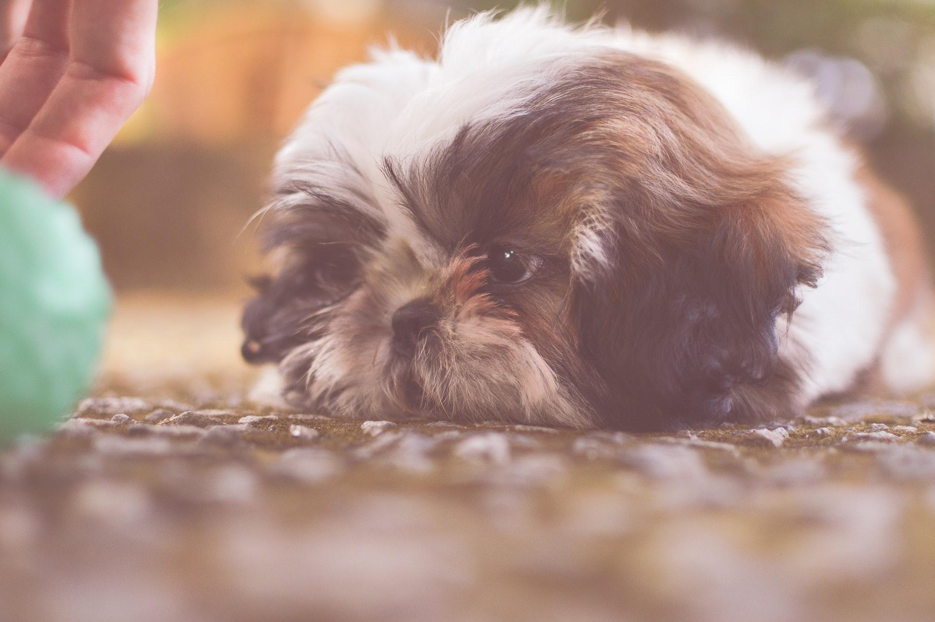 alergia a cachorro Shih Tzu