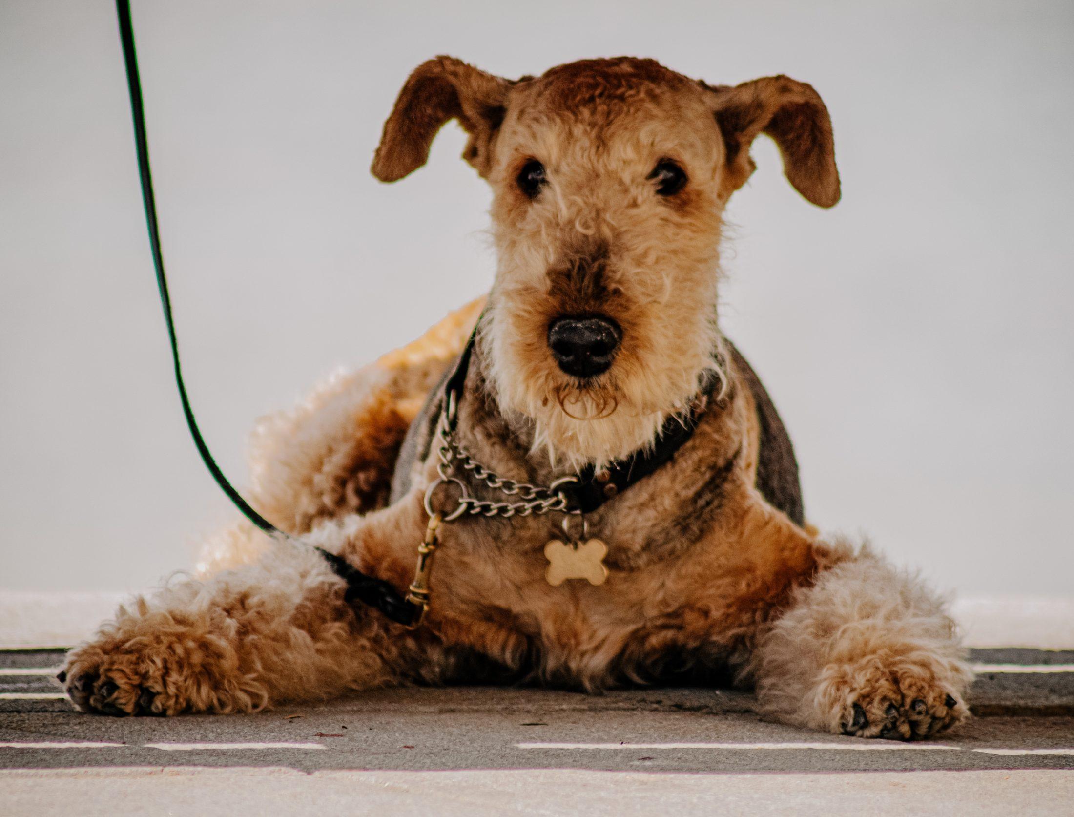 alergia a cachorro terrier escoces