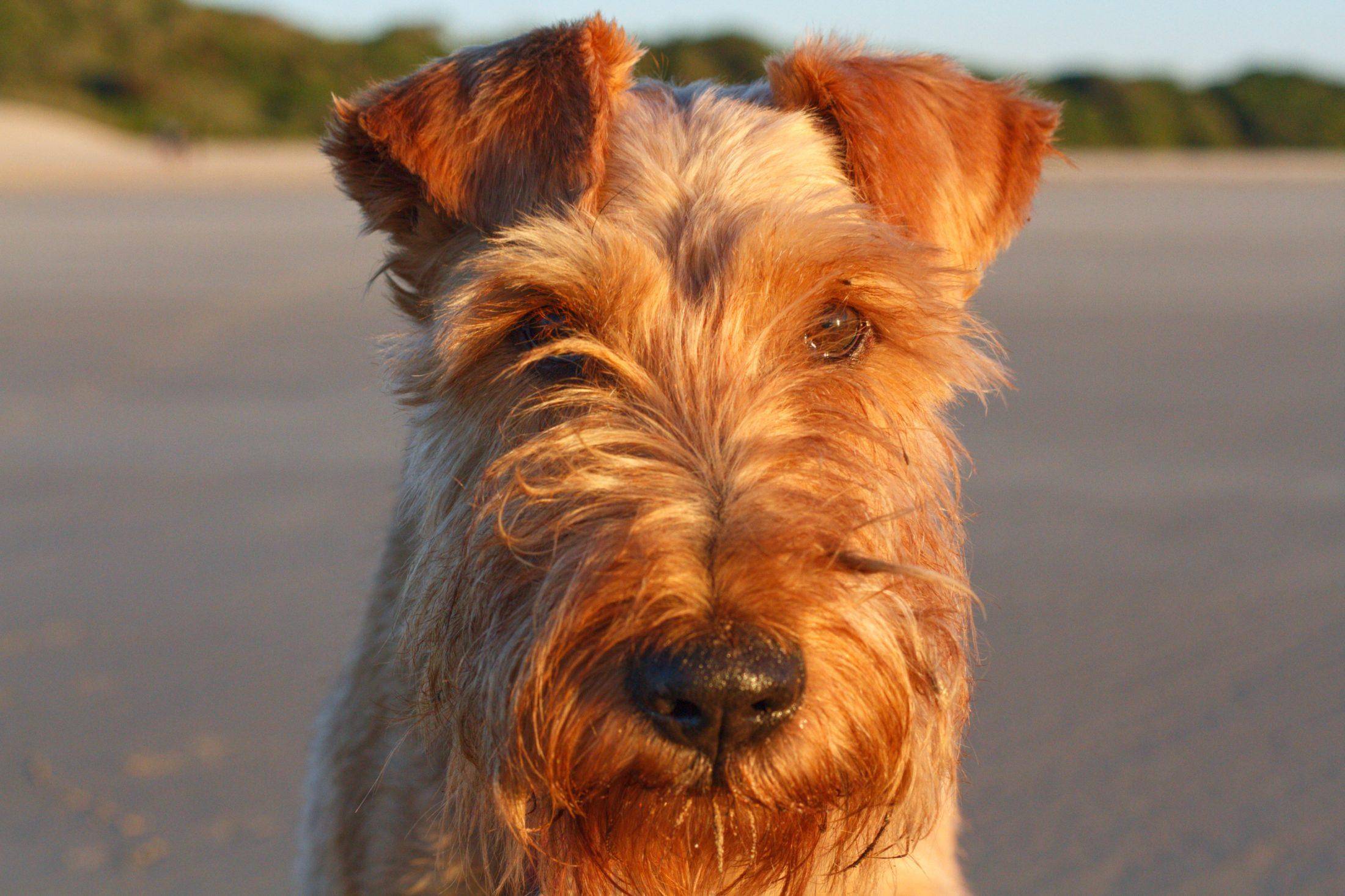 alergia a cachorro terrier escocês