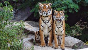 Animais carnívoros se alimentam de carne, como os tigres.