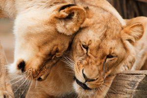 Animais carnívoros são importantes na cadeia alimentar.