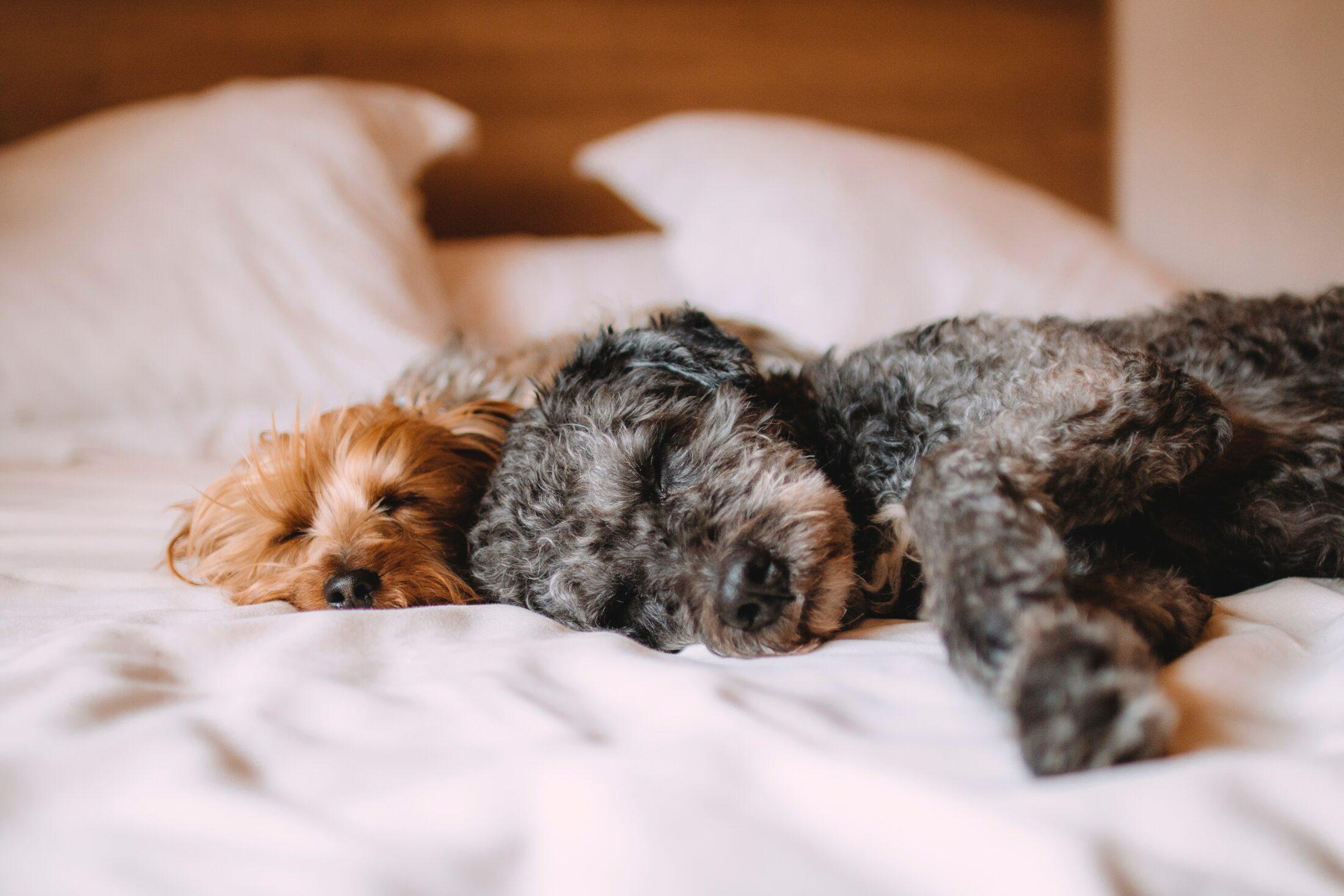 cachorros dormindo juntos na cama de casal