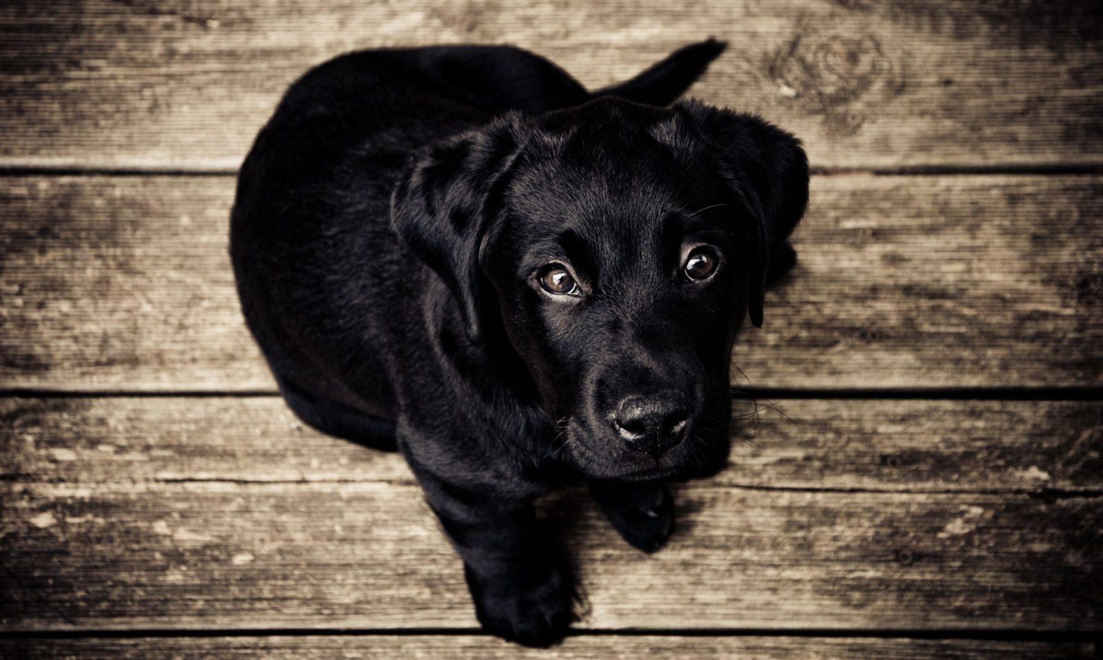 filhote de labrador preto é um dos animais domésticos mais populares