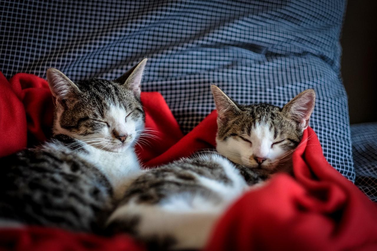 filhotes de gatos como animais domésticos