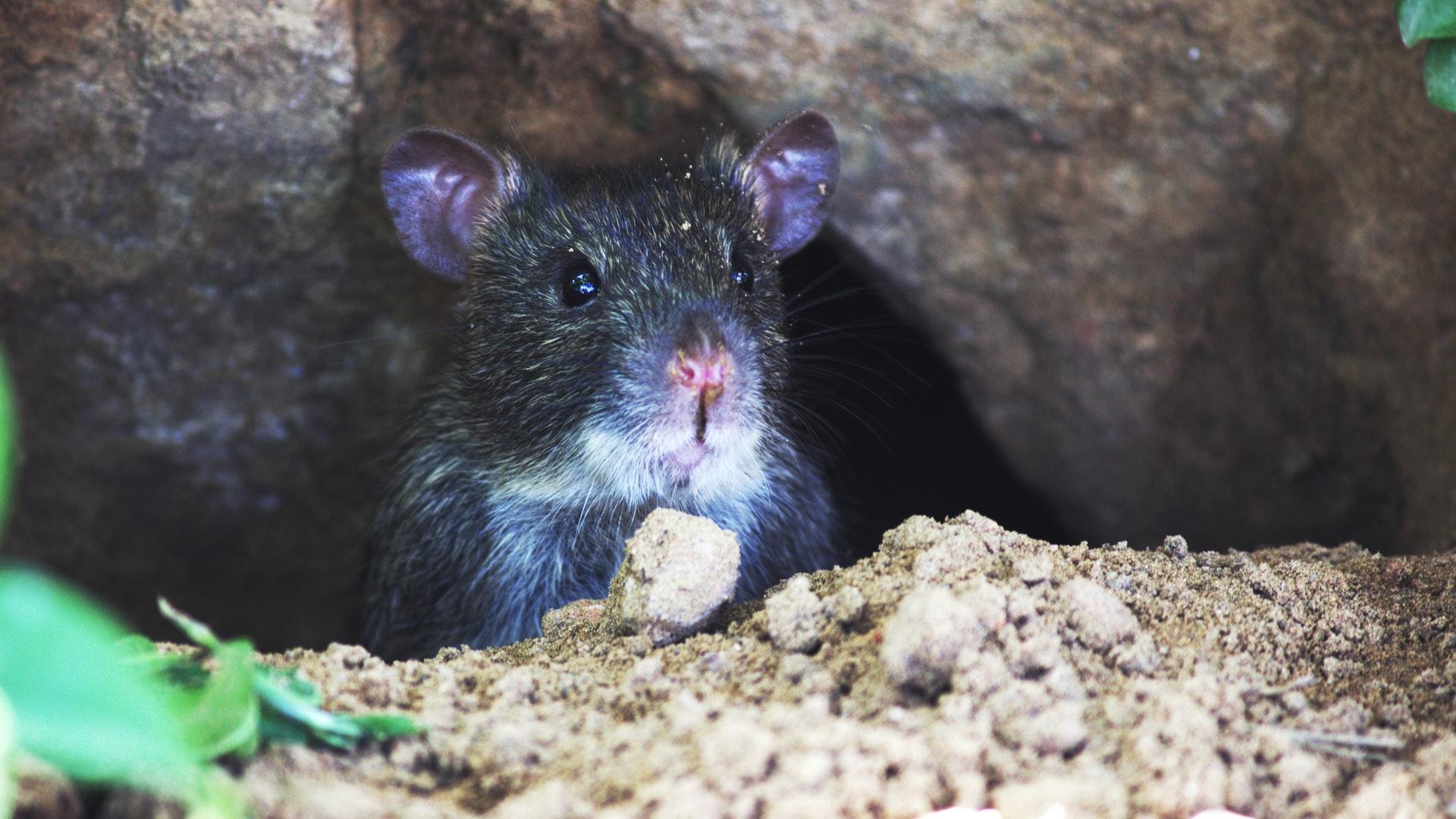 Sonhar com rato fugindo é sinal de cautela.