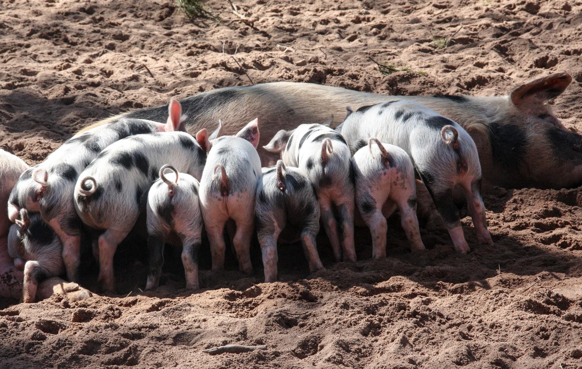 Sonhar com porco em grande quantidade é aviso.