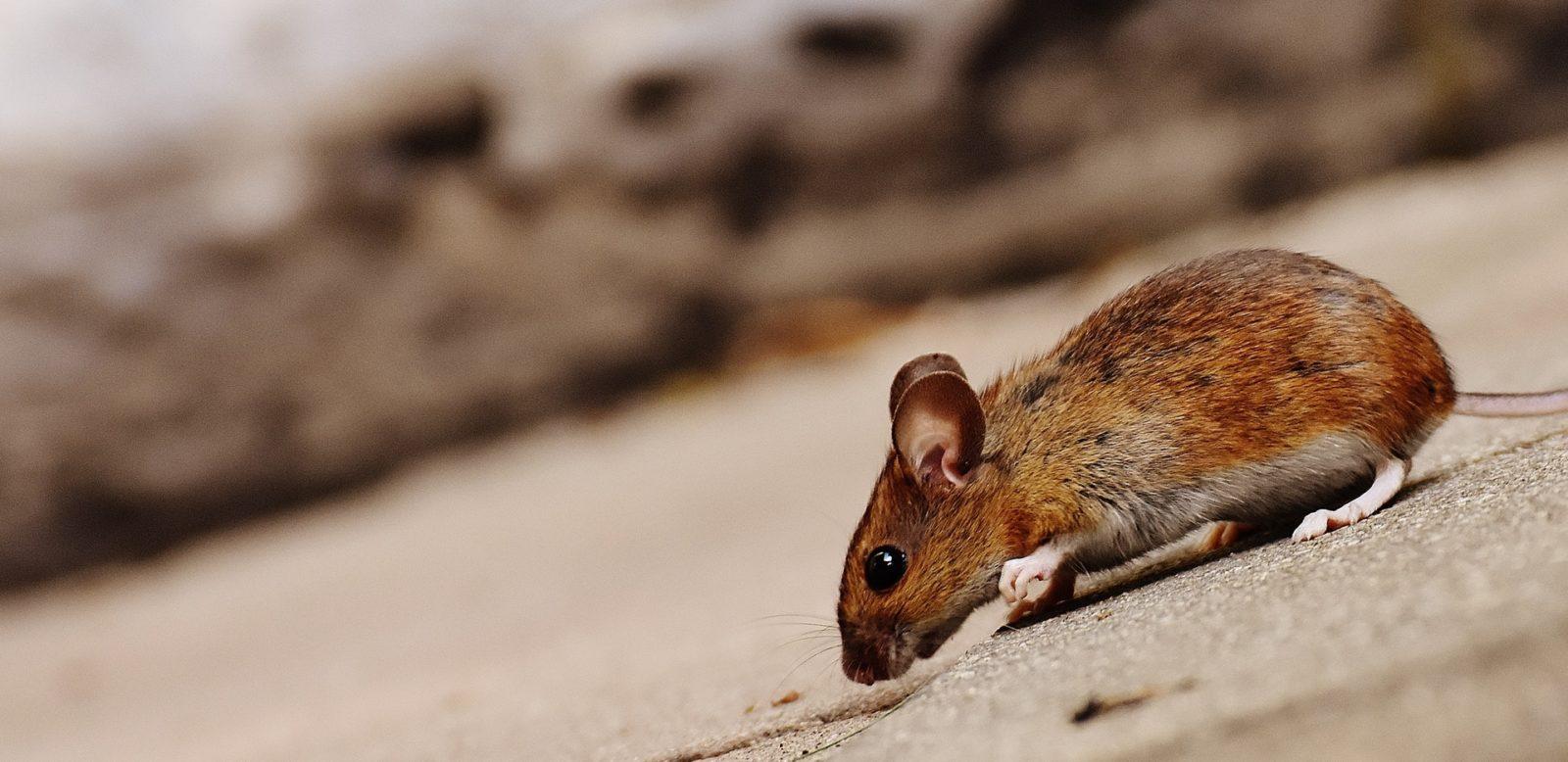 Sonhar com rato morrendo significa que algum negócio irá começar.