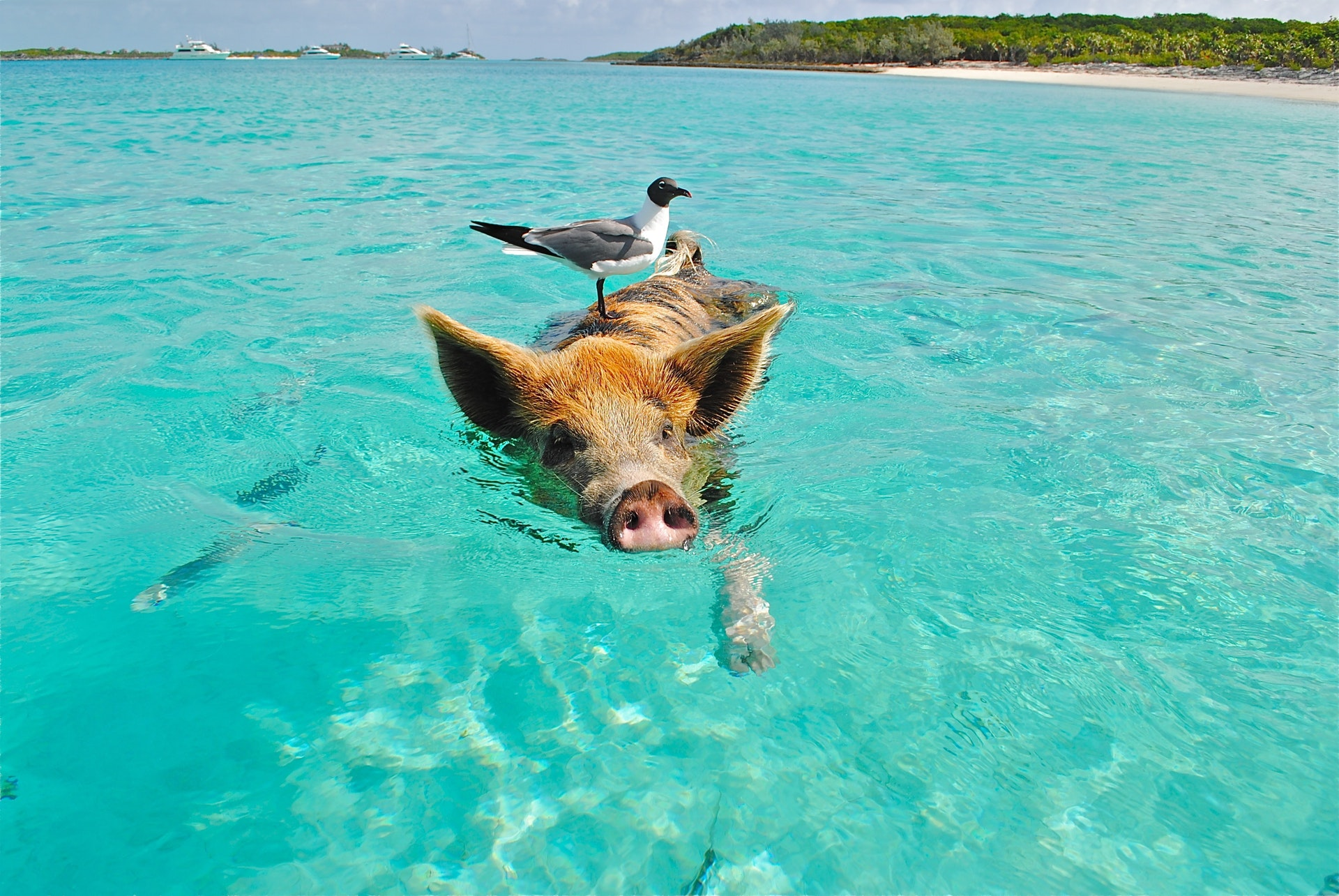 Sonhar com porco saudáve é bom presságio.