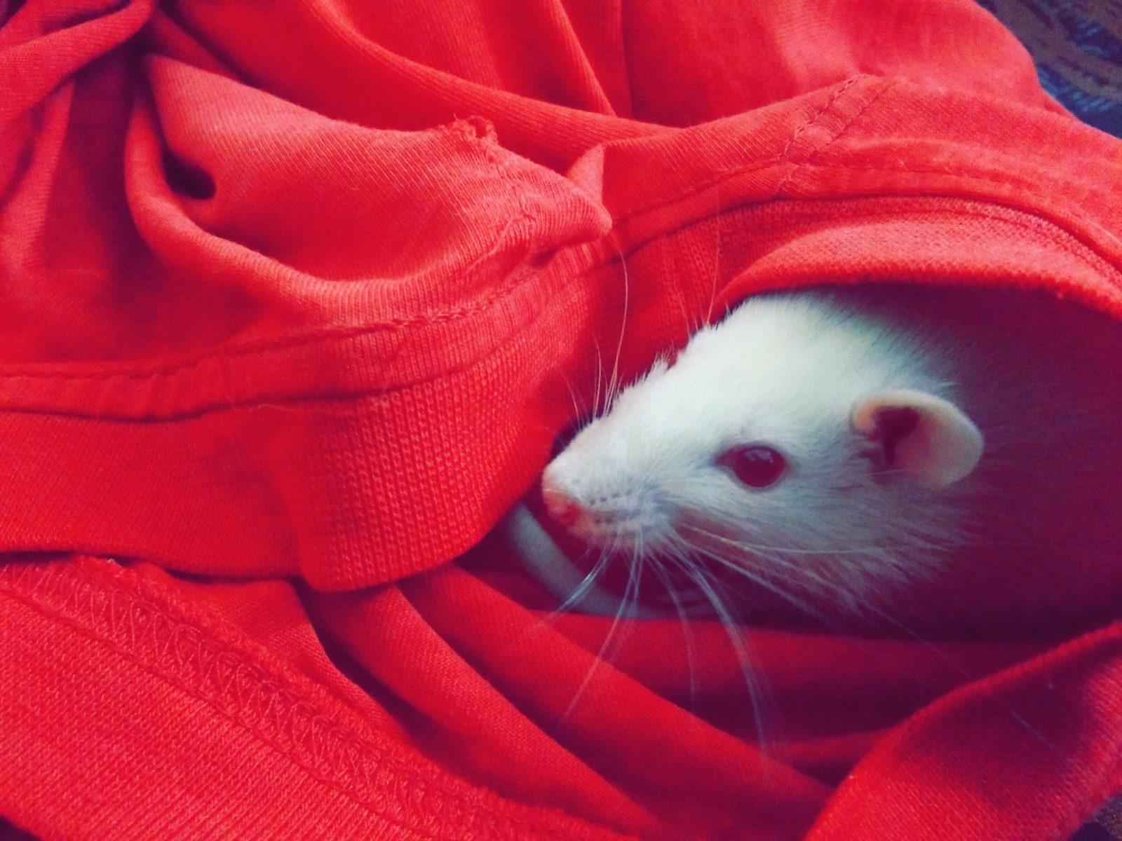 Sonhar com rato na cama é sinal de ambiente hostil.