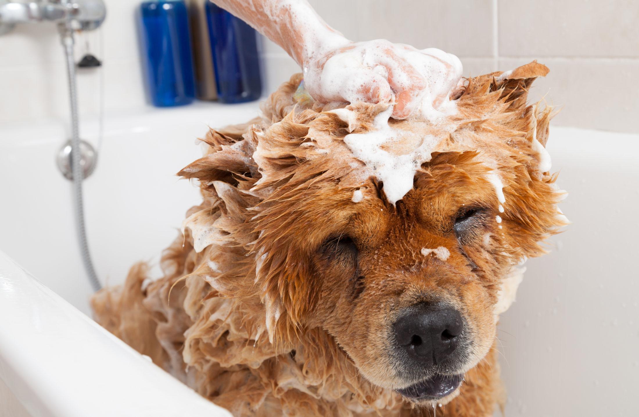 animal de estimação chow chow tomando banho em casa na banheira