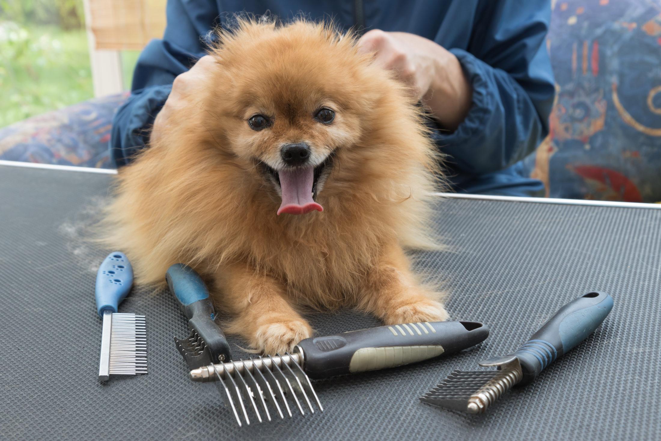 animal de estimação Pom sendo preparado para escovação dos pelos