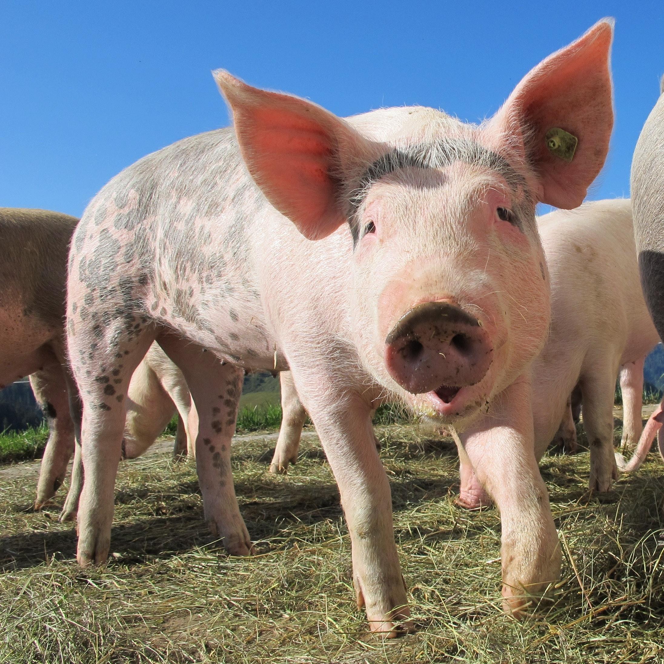 Para a mitologia grega, sonhar com porco está associado à fertilidade