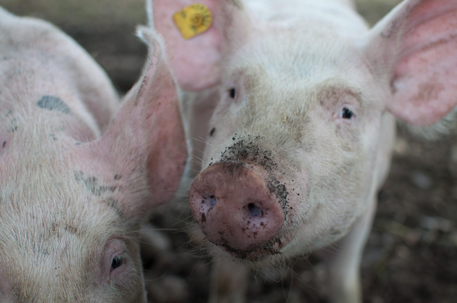 Sonhar com porco distante é bom presságio.