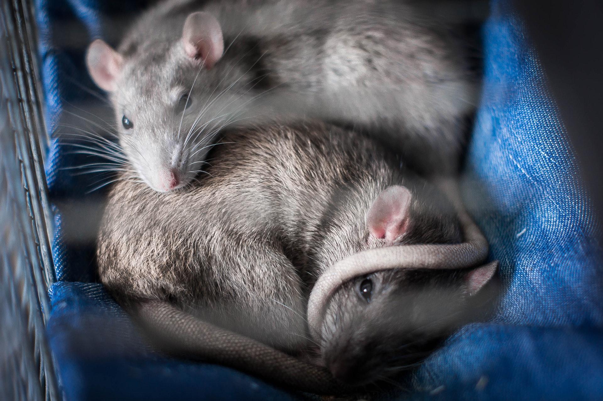 Sonhar com rato em quantidade pode ter diferentes interpretações