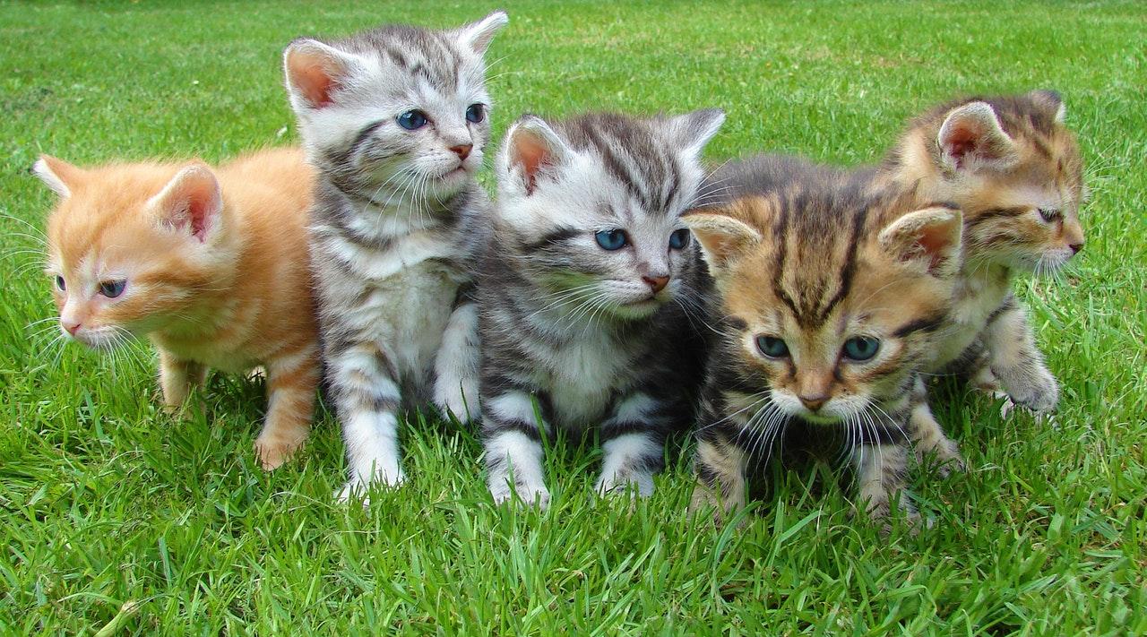 O gato é o bicho de estimação preferido das pessoas depois dos cachorros.
