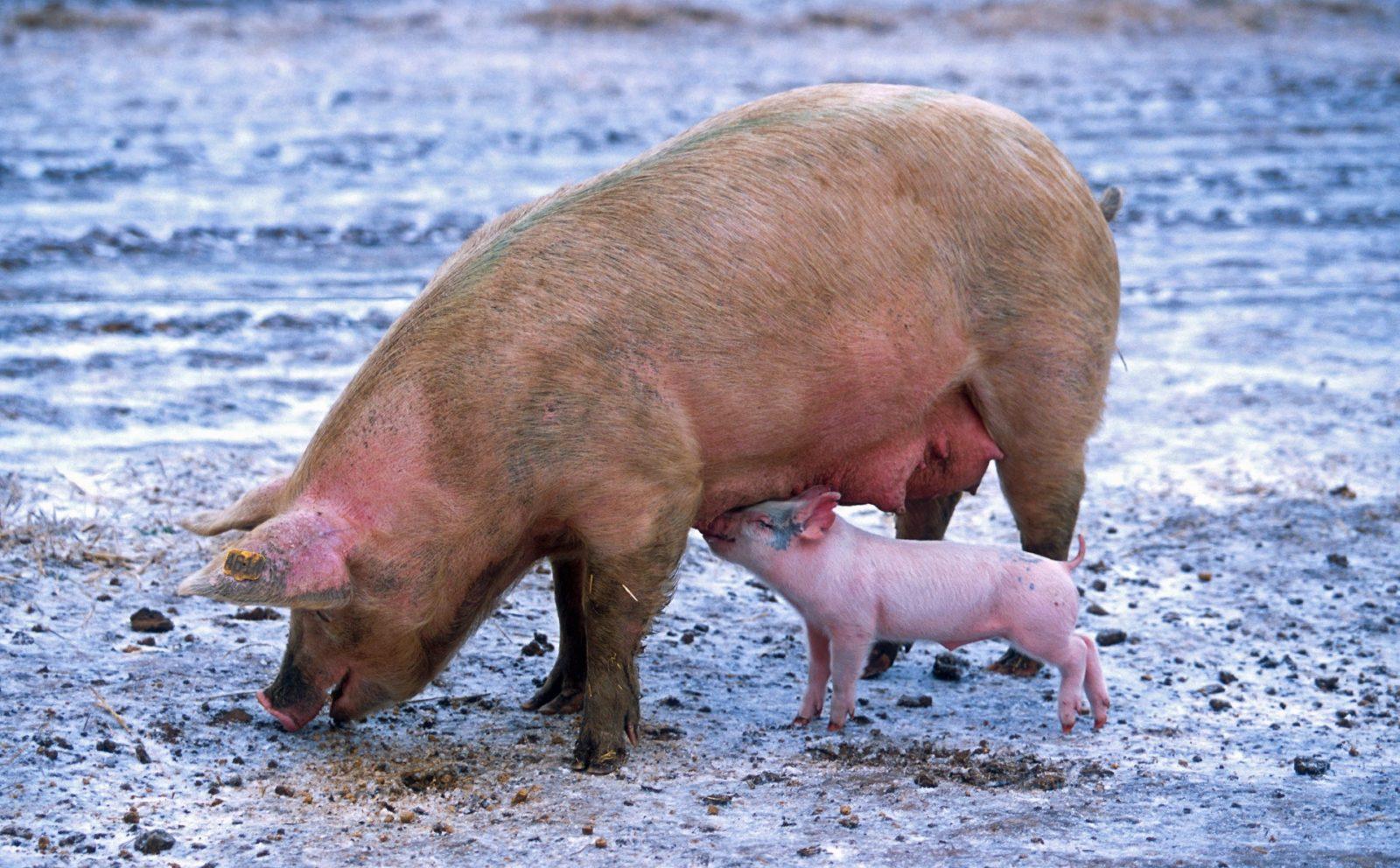 Sonhar com porco fihote tem relação com o crescimento, dinheiro, casamento e amor
