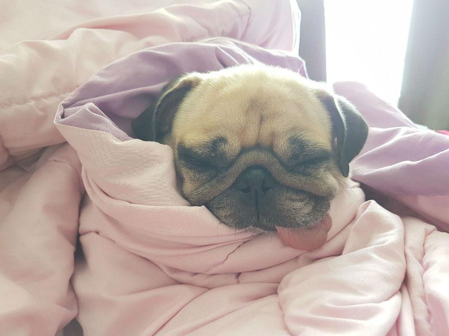 Ansiedade canina: Pug todo enrolado em cobertas como se fossem bandagens